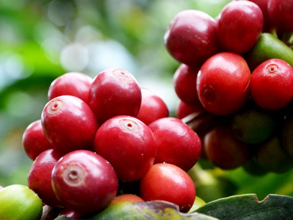 Kaffeplanten